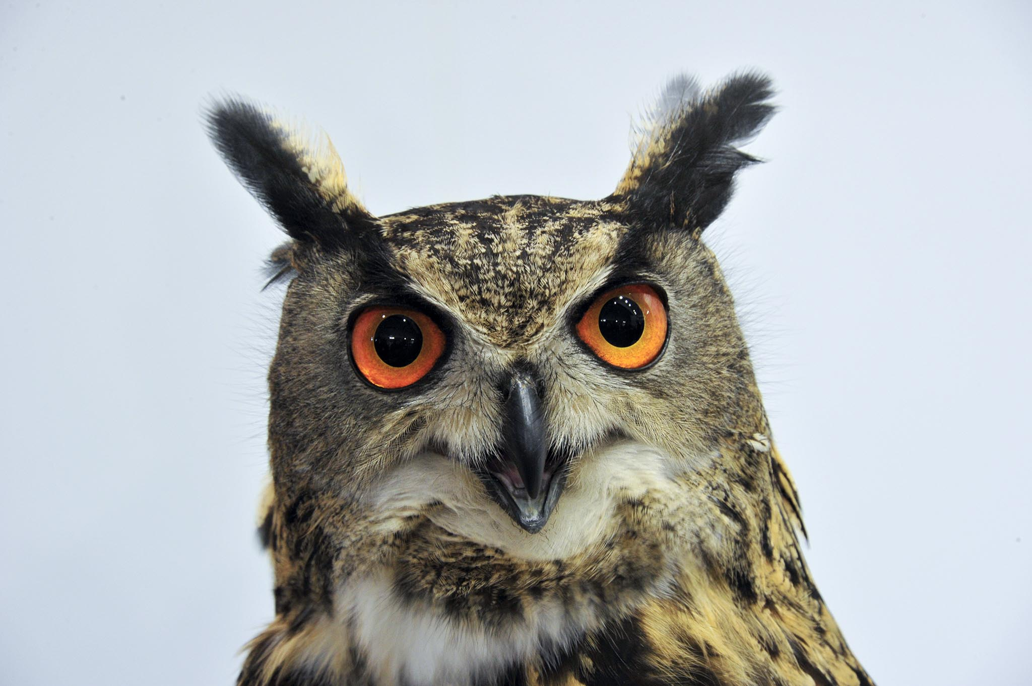 Live owl, at IWA 2016