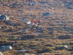 Ptarmigan hunting over Setter in Lapland