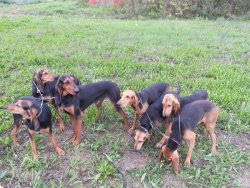 Pack of bloodhounds